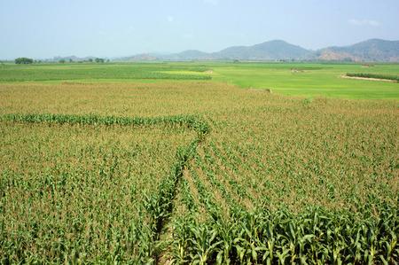 planta de maiz: Campo agrícola Viietnamese en Daklak, Vietnam, campo de maíz vasta intercalado con la planta de arroz, buena cosecha en la plantación Foto de archivo