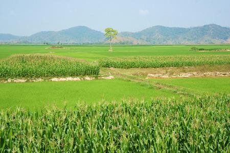 planta de maiz: Campo agr�cola Viietnamese en Daklak, Vietnam, campo de ma�z vasta intercalado con la planta de arroz, buena cosecha en la plantaci�n Foto de archivo