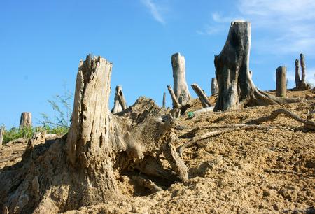 albero secco: La deforestazione in Vietnam campagna, ceppo solitaria, giungla danneggiati, apportare i cambiamenti climatici, ambiente di vita � stretta, questo � un problema globale, paesaggio desolato in giornata con albero secco
