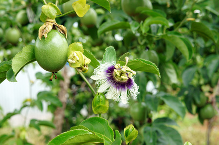 passionflower: Agriculture field, passion fruit is nutrition Vietnam fruit, rich vitamin C, healthy food, creeper with full of passionfruit, beautiful flower on farm