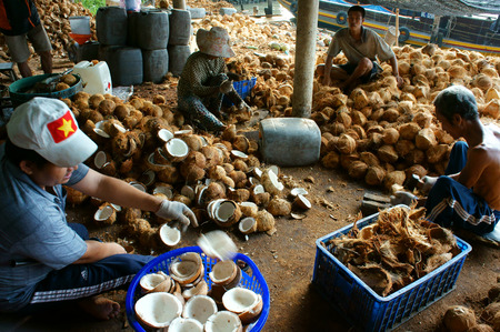copra: BEN TRE, VIET NAM- JUNE 1: Group of Asian worker working at coconut workshop to process coconut fruit, Vietnamese people split copra, material for candy and oil, Mekong Delta, Vietnam, June 1, 2015