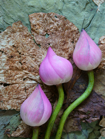 abstract food: Collection of lotus, pink lotus flower, green seed, white lotus seed in fresh and dry, herbal tea of this flora, with amazing, abstract concept in vibrant color, this food make healthy , good sleep