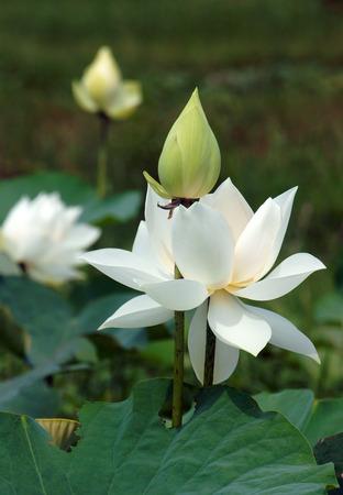 Vietnamese flower, pure white lotus flower, symbol of Vietnam at Mekong Delta, closeup of beautiful bloossom, flower bud ob green background