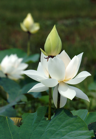 lotus background: Vietnamese flower, pure white lotus flower, symbol of Vietnam at Mekong Delta, closeup of beautiful bloossom, flower bud ob green background