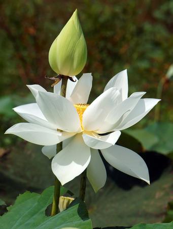 Vietnamese bloem, zuivere witte lotusbloem, symbool van Vietnam in Mekong Delta, close-up van mooie bloossom, bloemknop ob groene achtergrond