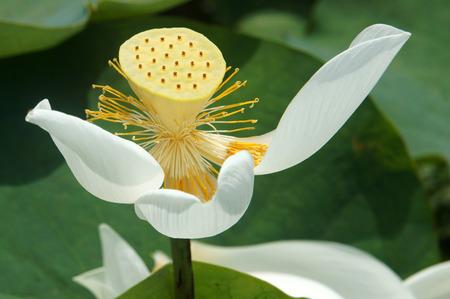 white lotus flower: Vietnamese flower, pure white lotus flower, symbol of Vietnam at Mekong Delta, closeup of beautiful bloossom, flower bud ob green background
