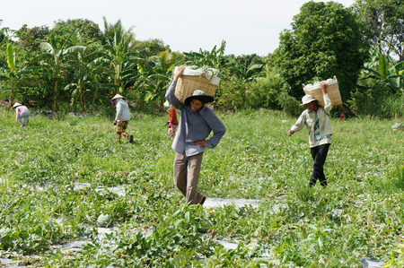water melon: DONG THAP, VIET NAM- JULY 27: Group of Asian farmer working on agriculture field, Vietnamese man harvesting watermelon on water melon plantation to sale for trader, Dongthap, Vietnam, July 27, 2015
