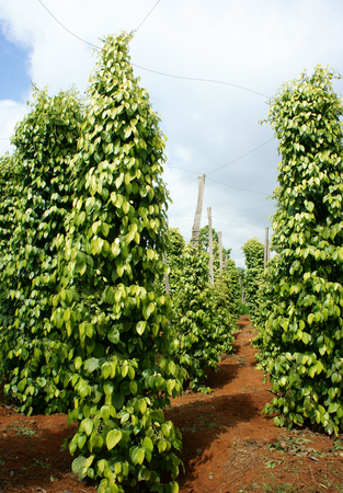 bush pepper: Pepper field at Gia Lai, Viet Nam, group of pepper plant in green, this farm product is export product from Vietnam to Asia, vegetable growing in bush, and plant in many aea as Binh Phuoc, Daklak