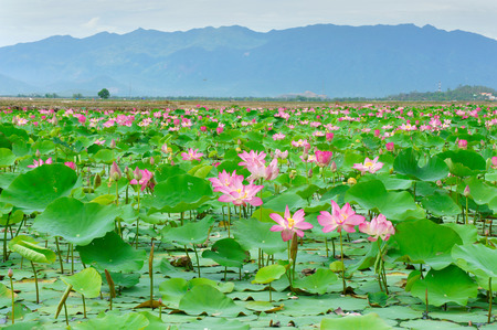 Vietnam flower, lotus flower bloom in pink, green leaf on water, lotus pond at Nha Trang countryside, Viet Nam, ecology environment so beautiful, harmony and amazing