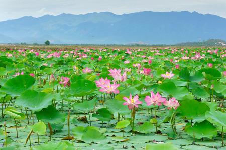 Vietnam bloem, lotusbloem bloei in roze, groen blad op het water, lotus vijver bij Nha Trang platteland, Viet Nam, ecologie zo mooi, harmonie en verbazingwekkende