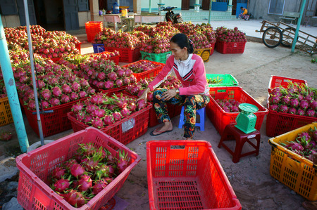 dragonfruit: BINH THUAN, VIET NAM- AUG 27: Farmer sell dragon fruit for trader at purchase area, this place will packing to export, dragonfruit is agriculture product of Binhthuan, Vietnam, Aug 27, 2015 Editorial