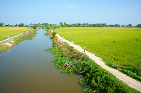 granary: Vietnam countryside landscape with vast rice field, yellow ripe paddy plantation, Mekong Delta is big granary for export, beautiful scene at agriculture farm