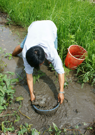 catch fish: LONG AN, VIET NAM- JULY 27: Vietnamese man catch fish on mud water, dong dong as young fish is delicious food at Mekong Delta countryside, this river fish live at paddy field, Vietnam, July 27, 2015