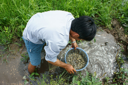 river fish: LONG AN, VIET NAM- JULY 27: Vietnamese man catch fish on mud water, dong dong as young fish is delicious food at Mekong Delta countryside, this river fish live at paddy field, Vietnam, July 27, 2015