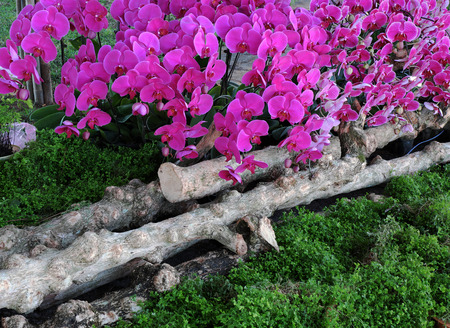 dalat: Amazing flower background, group of orchid pot show at flowers festival at Dalat, Vietnam in spring, colorful bloom, beautiful blossom on branch of tree, pink and purple petal from nice nature Stock Photo