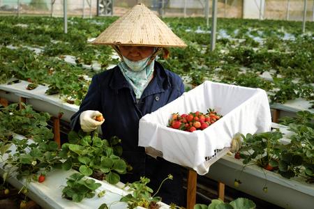いちごの庭、クリーンするハイテク農業と安全な製品、女性労働女性労働者がベトナム ・ ダラットでイチゴ植物から果実を収穫ダラット、VIET NAM-2016 年 2 月 9 日。