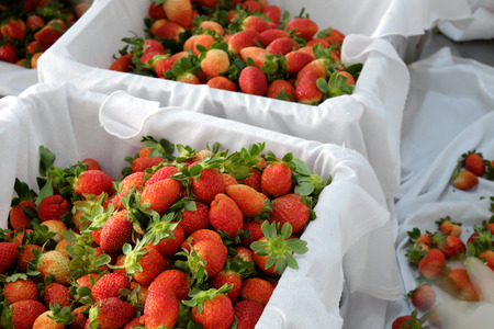dalat: Crop at strawberry garden Da Lat, Viet Nam, high tech agriculture to make clean and safe product, fruit from strawberries plant at Dalat, Vietnam, this is food that rich vitamin, good for health Stock Photo