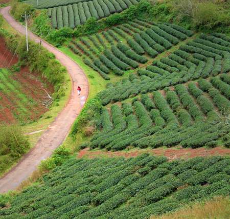 lonesome: Lonely people walking on countryside way, woman walk among tea field at Dalat, Lam Dong, Vietnam, lonesome landscape with one person in red, green farm of Da lat, Viet Nam nature