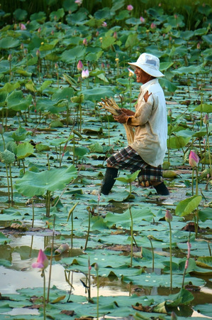 dong: DONG THAP, VIET NAM- NOV 25, 2014: Vietnamese farmer working on lotus pond, Asian man crop lotus flower, an agriculture product at Mekong Delta, Vietnam