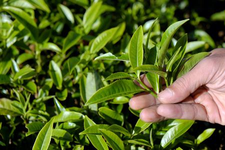 dalat: Tea leaf background, man hand pick tea leaves on agriculture plantation at Dalat, Vietnam, tealeaf is healthy drinking, good for health