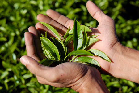 dalat: Tea leaf background, man hand pick tea leaves on agriculture plantation at Dalat, Vietnam, tealeaf is healthy drinking, good for health