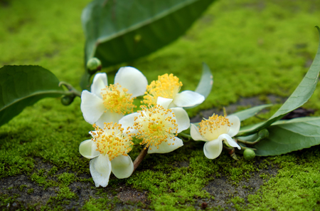 Tea leaf and tea flower on green background, abstract green moss from nature, pure white flowers so nice Stock Photo