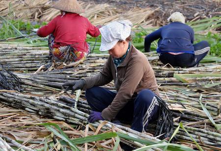 sugar cane farm: SOC TRANG, VIET  NAM- JULY 14, 2016: Group of Asian farmer working on sugarcane field, farmers harvesting sugar cane on agriculture farm at Mekong Delta, Vietnam