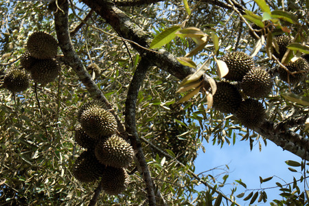 loc: Group of durian fruit on branch of tree in garden, durian fruits is special agricultural product with good taste in autumn at Vietnam