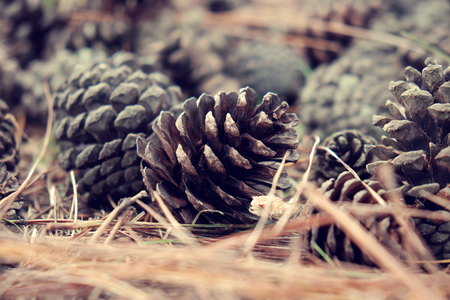 dalat: Group of rotten pinecone fall from pine tree in Dalat forest, pine cone is symbol of Christmas season and also is Xmas ornament, ground cover with pine needle