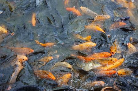 fish pond: Vietnam fish farming at Mekong Delta, group of carp in fish pond