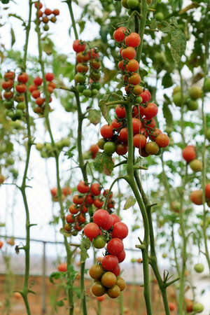 Safe vegetable farm at Da Lat, Viet Nam, red tomato with high tech agriculture in greenhouse, amazing tomato garden to make safe food