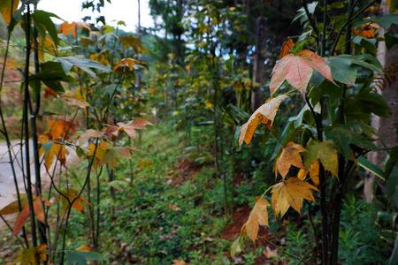 lat: Maple leaf form tree in Dalat jungle, Vietnam, an autumn leaf just grow test in Da Lat Stock Photo