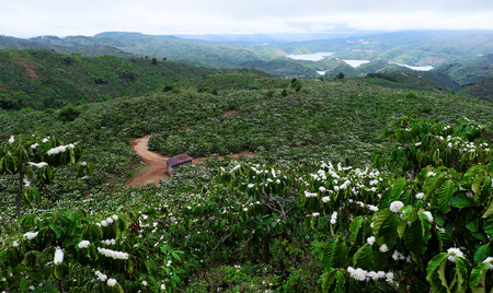 Amazing scene at Vietnamese countryside with wide coffee plantation in blossoms season, white flower from coffee tree make wonderful field from hill, a small house among farm at Daknong, Vietnam Stock Photo