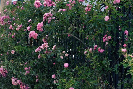 Beautiful Fence Of A Home At Dalat, Vietnam, Climbing Roses Trellis.. Stock  Photo, Picture And Royalty Free Image. Image 72038191.