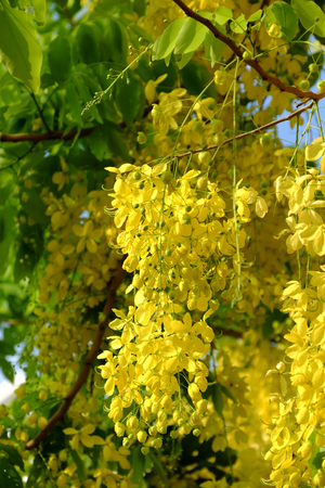 Amazing Cassia fistula tree with bunch of flower in yellow, this plant is national flower of Thai  Lan, also name Osaka, Dok khuen, Kanikkonna, Amaltas