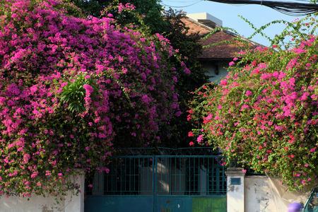 レンガの壁、ベトナムのホーチミン市での日に紫の色のブーゲンビリアの花トレリスと素晴らしい家