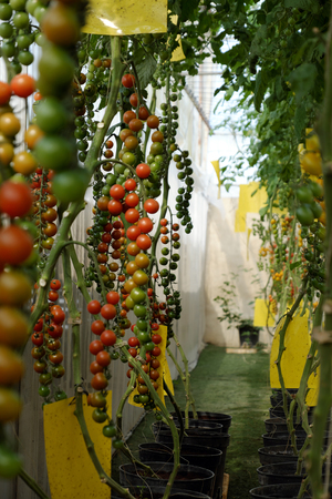 dalat: Amazing with productivity of organic agriculture product from tomato cherry plant at Dalat, Vietnam Stock Photo