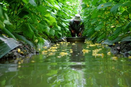 stock photo vietnamese farmer work at cucumber garden to harvest product man stand in water ditch to crop vegetables on cucumber plant green leaf and - Vietnamese Garden