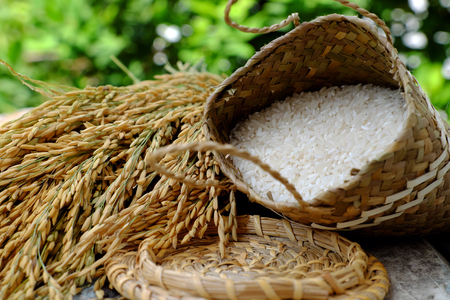 Close up of paddy grain and rice seed on green background, sheaf of rice in yellow and basket of grains