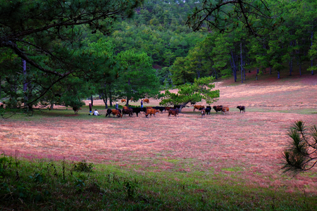 Amazing landscape at Dalat Vietnam at evening, people grazing cows on meadow among pine forest, pink grass hill contrast with green tree make wonderful scene for Da Lat tourism