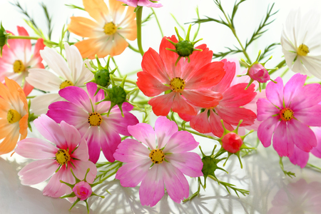 Abstract clay art with colorful cosmos flowers, amazing multi color artwork on white background Stock Photo