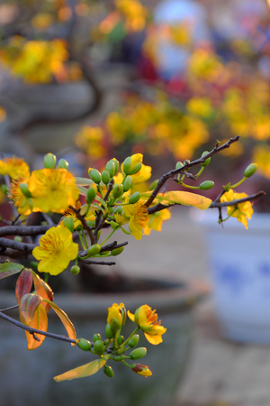 Close up of yellow apricot blossom on branch of tree at flower market in sunset, spring flower bloom bright, ready for decoration in lunar new year