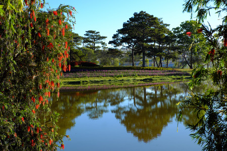 Beautiful willow tree blossom red flower along Than Tho lake, Da Lat city, Vietnam in morning, branch of tree weeping on water in spring