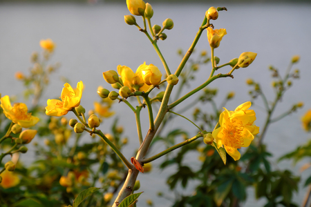 Yellow flower in springtime, buttercup tree blossom bright  in golden at flower market, Da Lat city, Vietnam in spring, close up of bud and petals in sunset