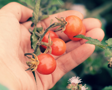 Woman hand harvesting wild cherry tomato grow in garden, close up shot of red ripe tomatoes in hand, fresh fruit bunch on green blur background in nature at Da lat, Viet Nam on day Standard-Bild