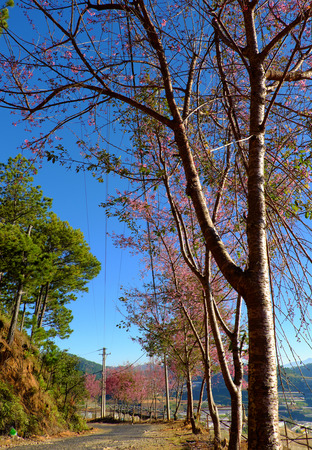 Beautiful scenery from  travel destination at Da Lat, Viet Nam in spring,  row of sakura blossom tree on small street under blue sky at morning, cherry blossom flower in pink make wonderful landscape 写真素材
