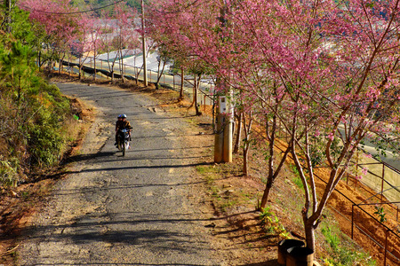High view beautiful landscape, row of sakura blossom tree under blue sky at morning, Da Lat, Viet Nam in spring, people ride motorbike with cherry blossom flower on small street, Vietnam