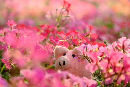Amazing exciting scene with handmade pink piggy hide in geranium flower garden, close up shot knitted pig face among colorful spring flowers with blur background