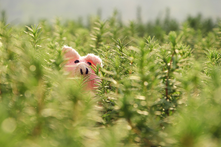 Amazing funny scene with handmade pink pig hide in rosemary garden, close up shot of knitted piggy face among green plant with blur background Stock Photo