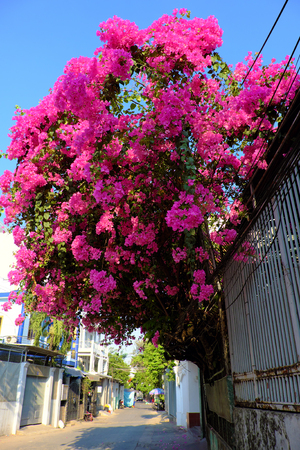 Amazing decorative front of house by bougainvillea flower bush, landscape of pink flower trellis bloom vibrant in pink on day at facade of house at Ho Chi Minh city, Vietnam 写真素材